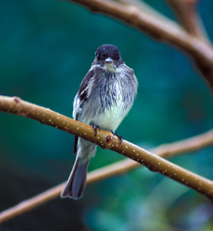 Eastern Wood-Pewee grounded along Texas coast by Ted Lee Eubanks