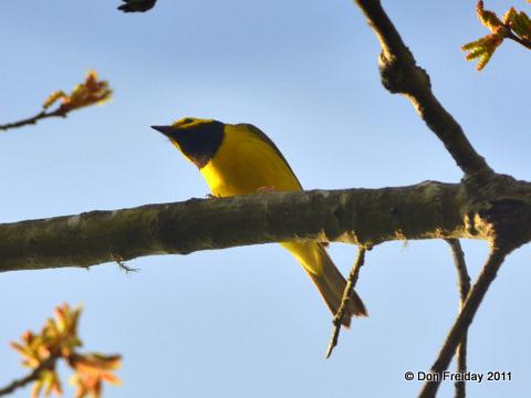 Warbler, hooded belleplain nj april 24 2011 dpf 002-1