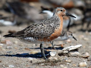 Red_knot_Delaware