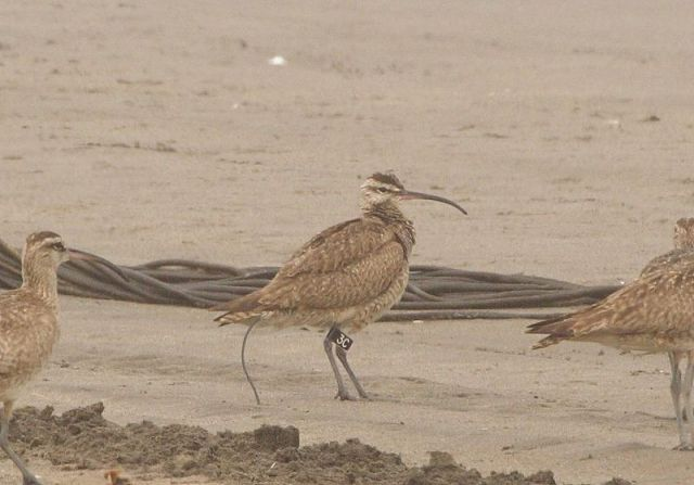 Whimbrel 3C in Chile by Pablo A. Cáceres_7286