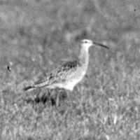 03 Curlew