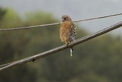 02 Red-shouldered Hawk