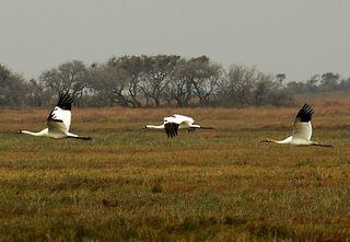 Whooping cranes, Aransas NWR, 28 Dec 2010
