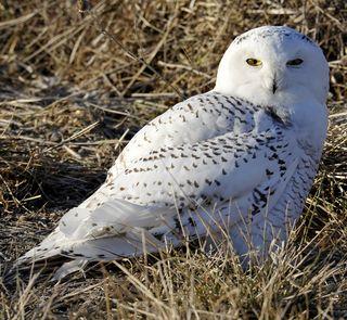 Snowy Owl (3) (800), Fremont, NE by Ted Lee Eubanks, 13 Jan 2012