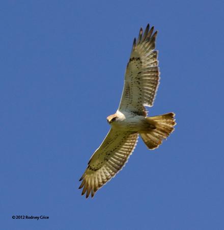 ABArare Ferruginous Hawk Crice 02