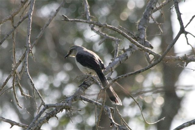Tropical Mockingbird - Texas