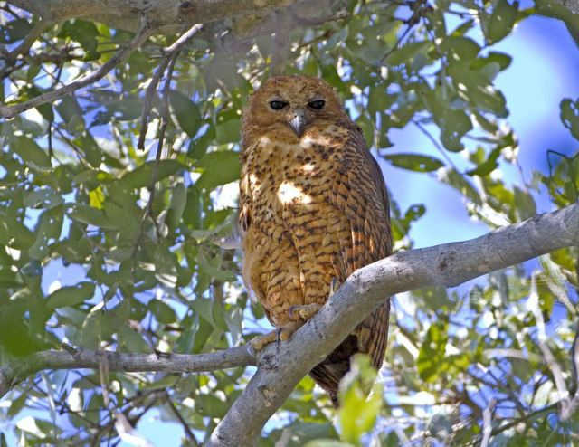 Pel's Fishing Owl BINNS IMG_1122 copy