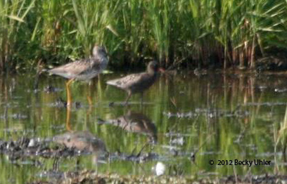 ABArare Spotted Redshank 001