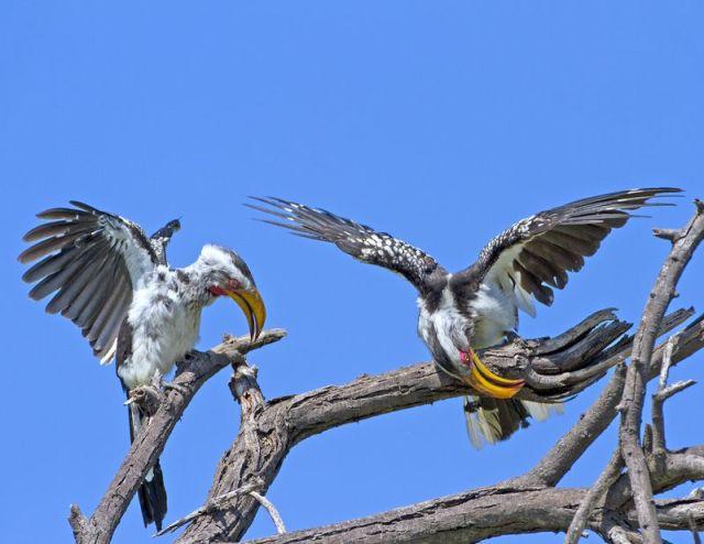 Southern yellow-billed hornbills displaying BINNS IMG_3052 copy