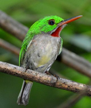 Broad-billed Tody