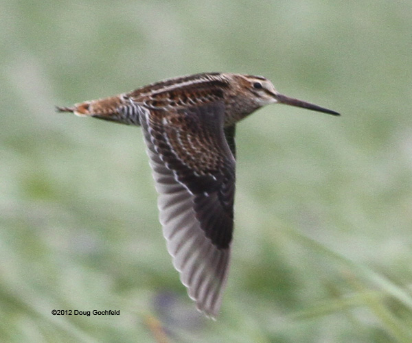 ABArare Pin-tailed Snipe