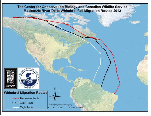 Whimbrel migrations