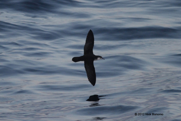 ABArare – Little (Barolo) Shearwater & White-faced Storm