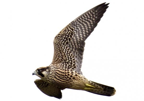 Peregrine-falcon-fkh-sunderland-sm2