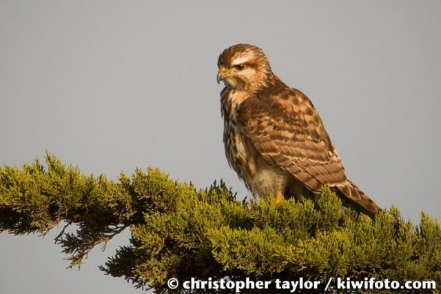ABArare Gray Hawk CA perched Taylor