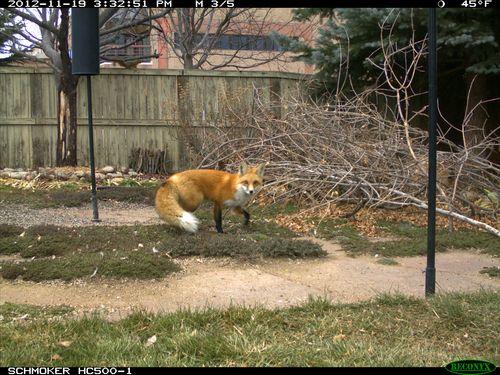 Fox_day-2