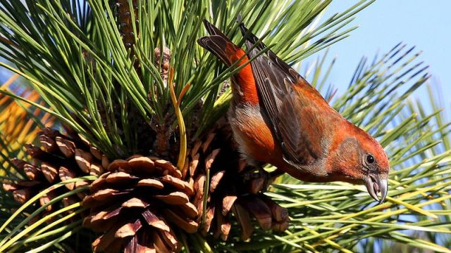 Red-Crossbill CF