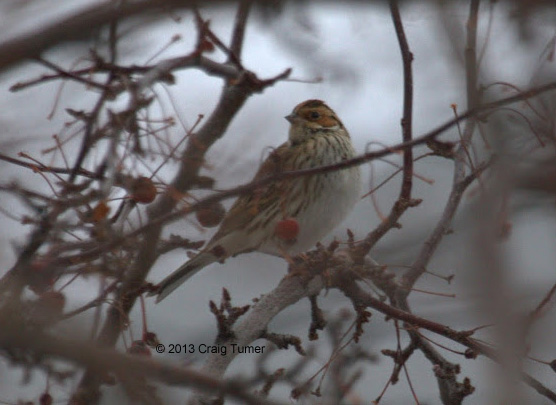 ABArare Little Bunting 01