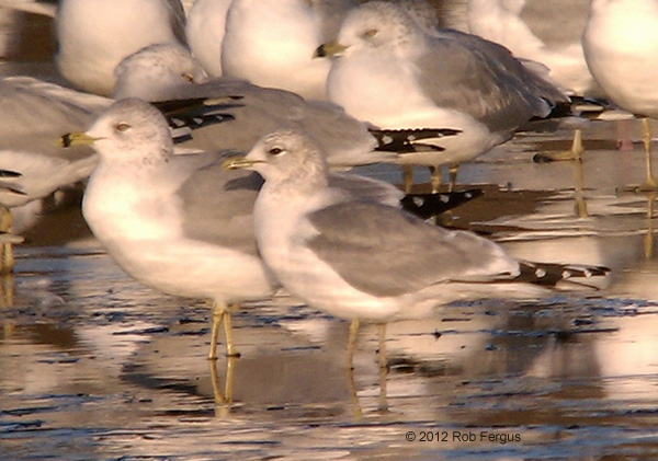 ABArare Mew Gull New Jersey Fergus