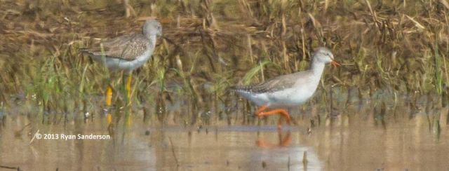 ABArare Spotted Redshank IN Sanderson 02