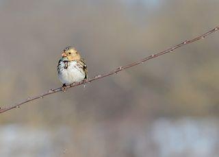 Harrissparrow