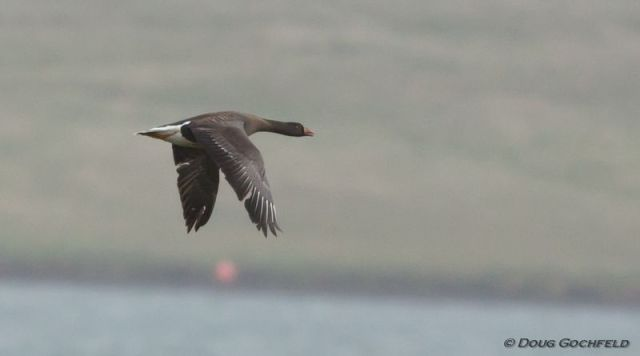 ABArare Lesser White-fronted Goose 02
