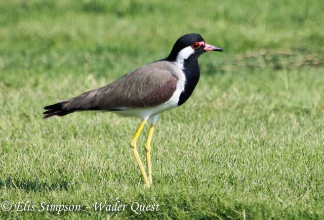 Red-wattled Lapwing, UAE