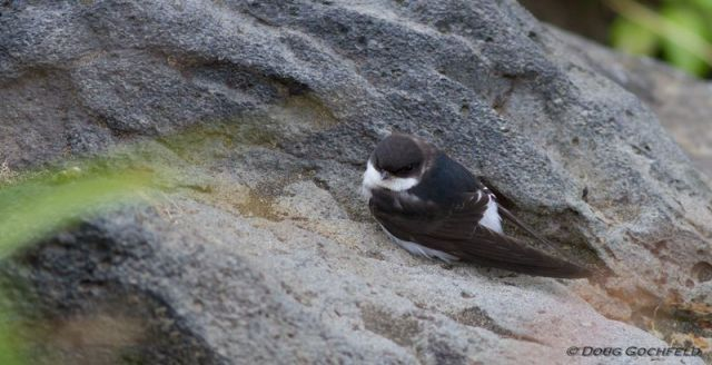 ABArare Common House-Martin Gochfeld perched