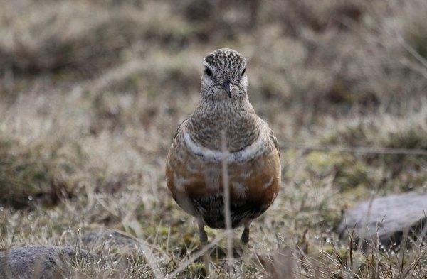 Eurasian Dotterel, photo by Elis Simpson