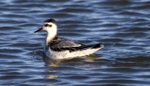 Red Phalarope. Photo by Greg Neise.
