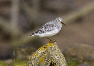 Rock Sandpiper, subspecies ptilocnemis. Photo by Greg Neise.