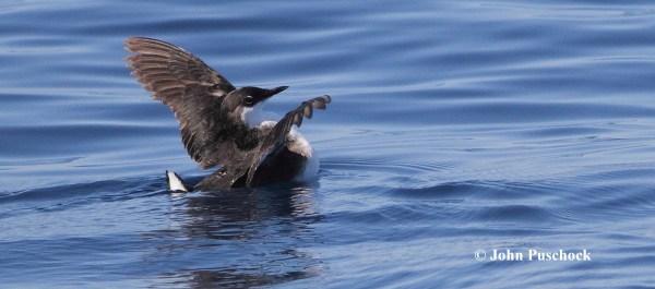 Craveri's Murrelets were seen on the pelagic.