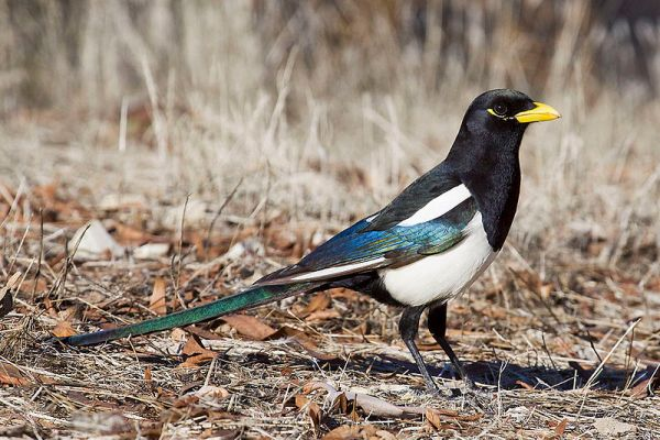Yellow-billed Magpie, photo by Bill Bouton via wikipedia