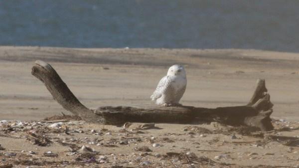 Snowy Owl, Dare Co, NC, photo by Nate Swick