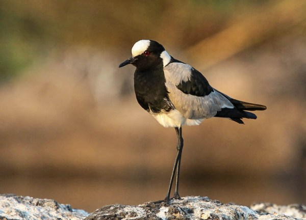 Blacksmith Lapwing, photo by Ellis Simpson