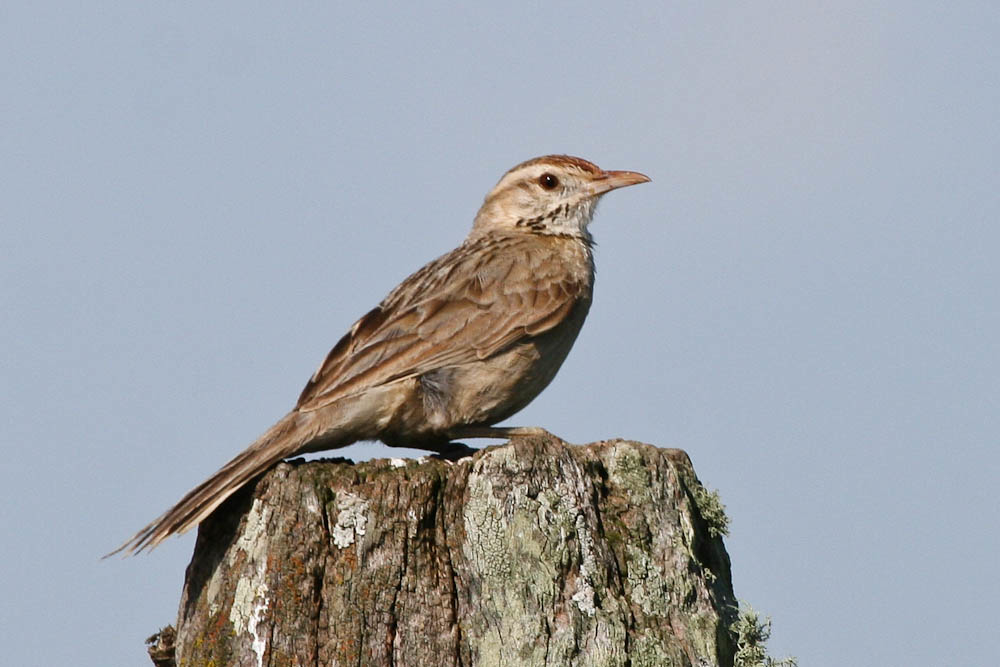 The Firewood Gatherer Is A Bird Of Open Scrubby Habitats And Pastureland In Temperate South