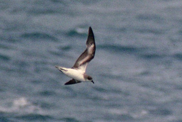 Zino's Petrel, off Hatteras, NC, Sep. 1995 - photo by Brian Patteson, used with permission