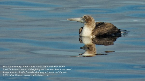 This Blue-footed Booby in BC marked the northernmost record during the late summer/fall invasion, photo by Kyle Howard