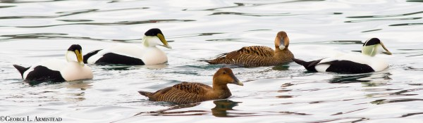 Common Eiders were extremely, well... common. We never tired of them.