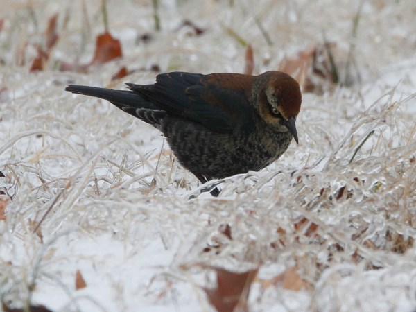 A Rusty Blackbird in Arkansas. Photo: Ron Howard. Used by USFWS with permission.