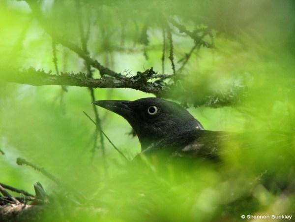 A Rusty Blackbird through the trees. Photo: copyright Shannon Buckley.