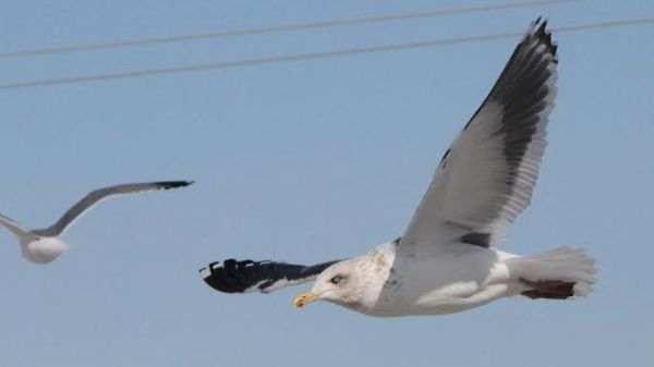 For the second week in a row, a Slaty-backed Gull highlights the RBA, this one in Illinois, photo by Nathan Goldberg