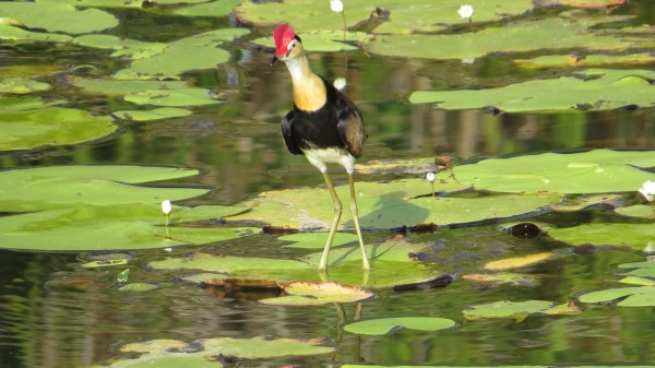 Comb-crested Jacana, photo by Elis Simpson