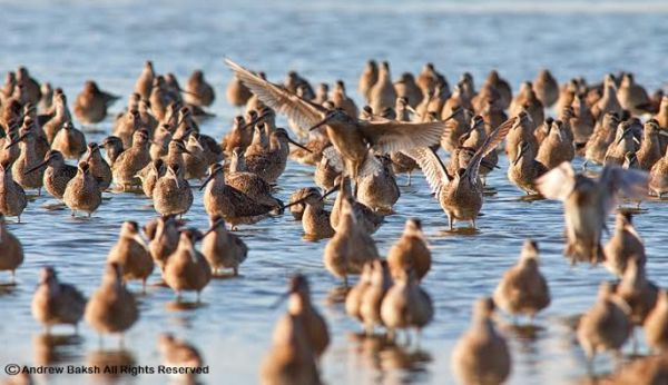 Shorebirds on Jamaica Bay's West Pond, photo by Andrew Baksh
