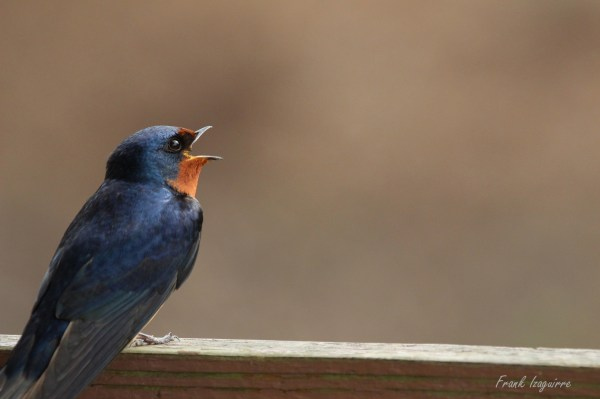 Barn Swallow Signature3