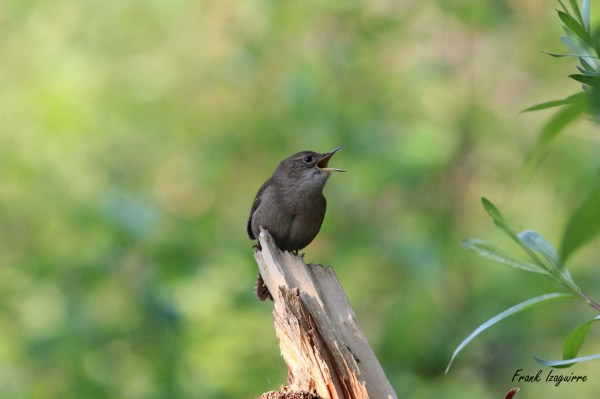 House Wren with sig1