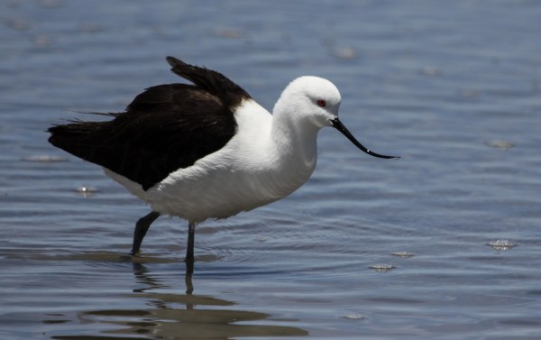 Andean Avocet, photo by Elis Simpson