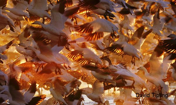Snow Geese (Chen caerulescens) at dawn Bosque del Apache New Mexico USA winter