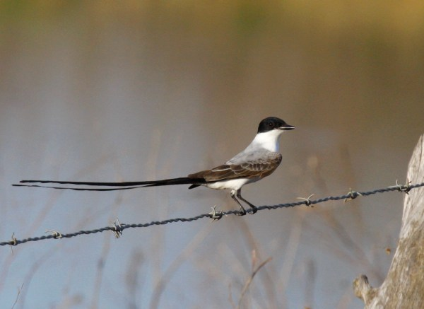 I did not string this Fork-tailed Flycatcher. Took this shot in Venezuela. Still need it for ABA Area! (Photo © G. Armistead)