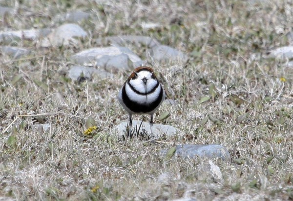 Two-banded Plover, photo by Elis Simpson